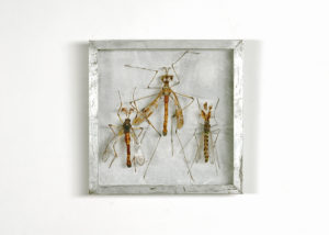 Collectie IV Langpootmuggen Handgebreid, in zinken doos van 20-20 cm